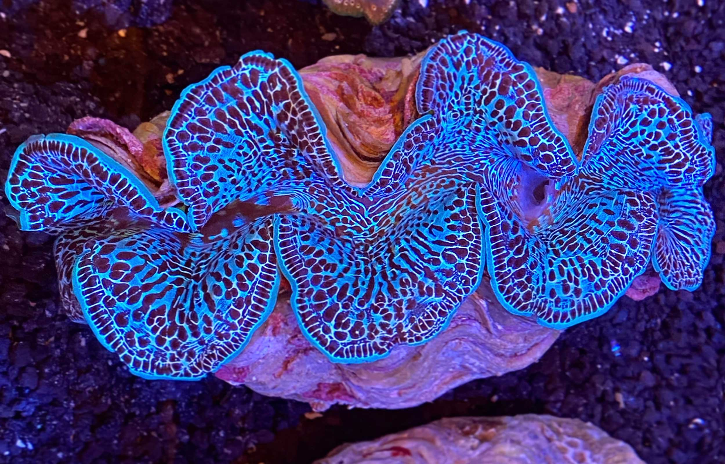 baby blue maxima clam first place 2021 research photo contest winner