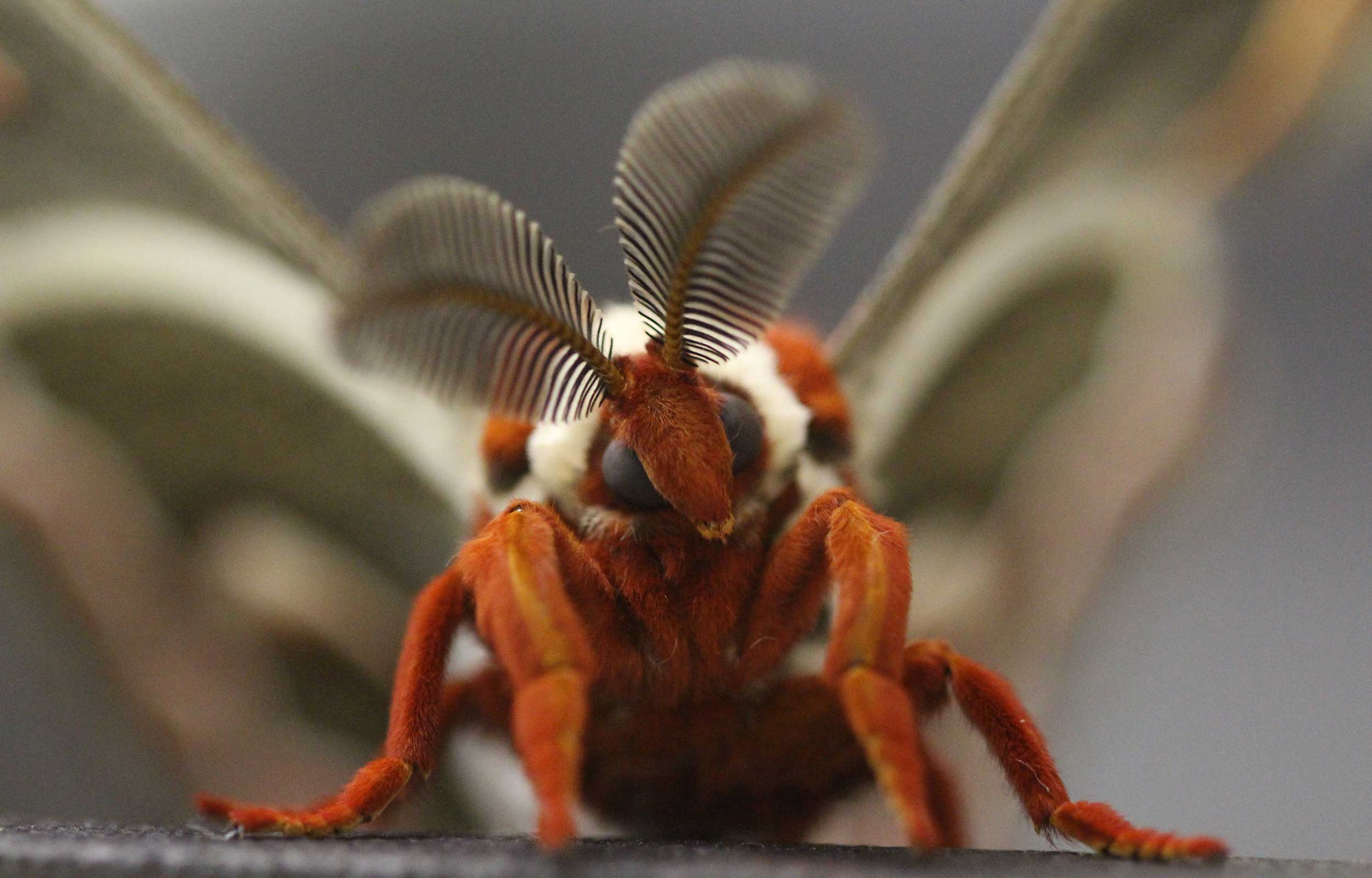 close up of a cecropia moth 2021 research photo 3rd place winner